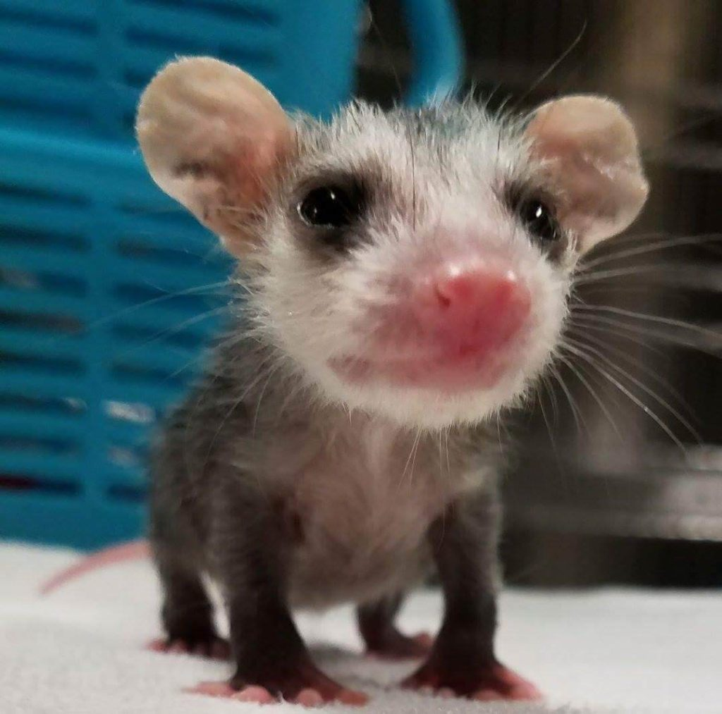 This possum knows how to strike a pose, but he's too small and young to make it on his own.