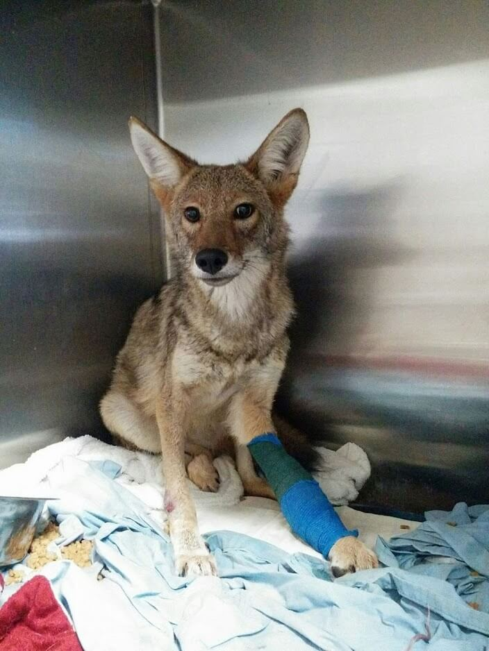 The coyote after several weeks of progress and therapy.