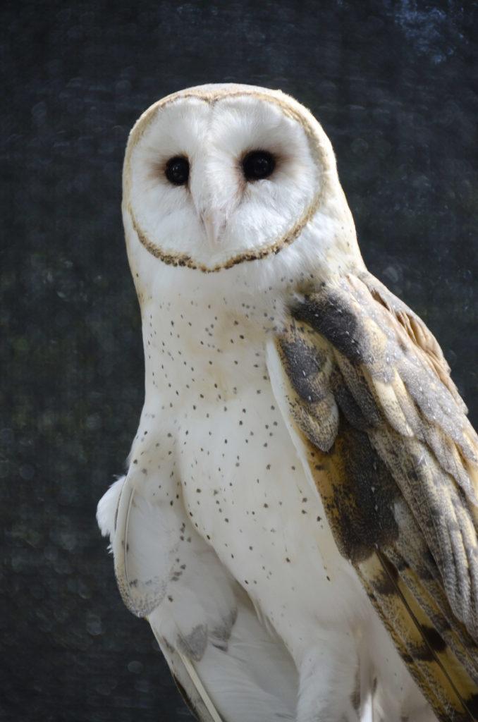 Barn Owl Windy.3(1)