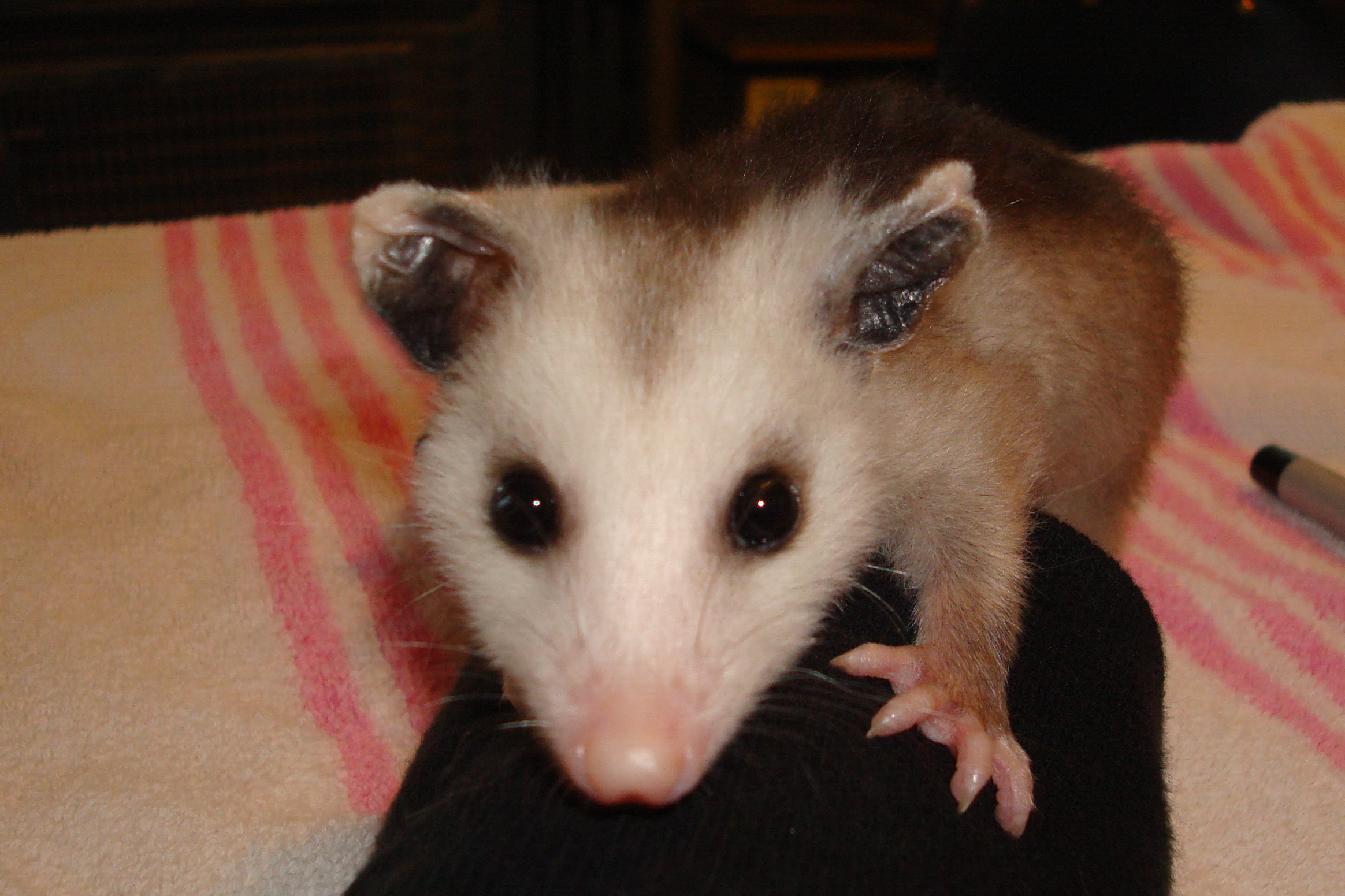 pretty as a u0027possum aware atlanta wild animal rescue effort inc