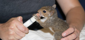 Feeding Baby Squirrel