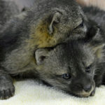Gray Fox Babies LHP0357