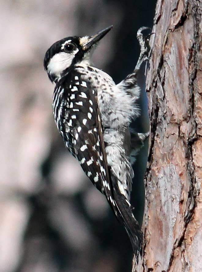 3194-red-cockaded-woodpecker