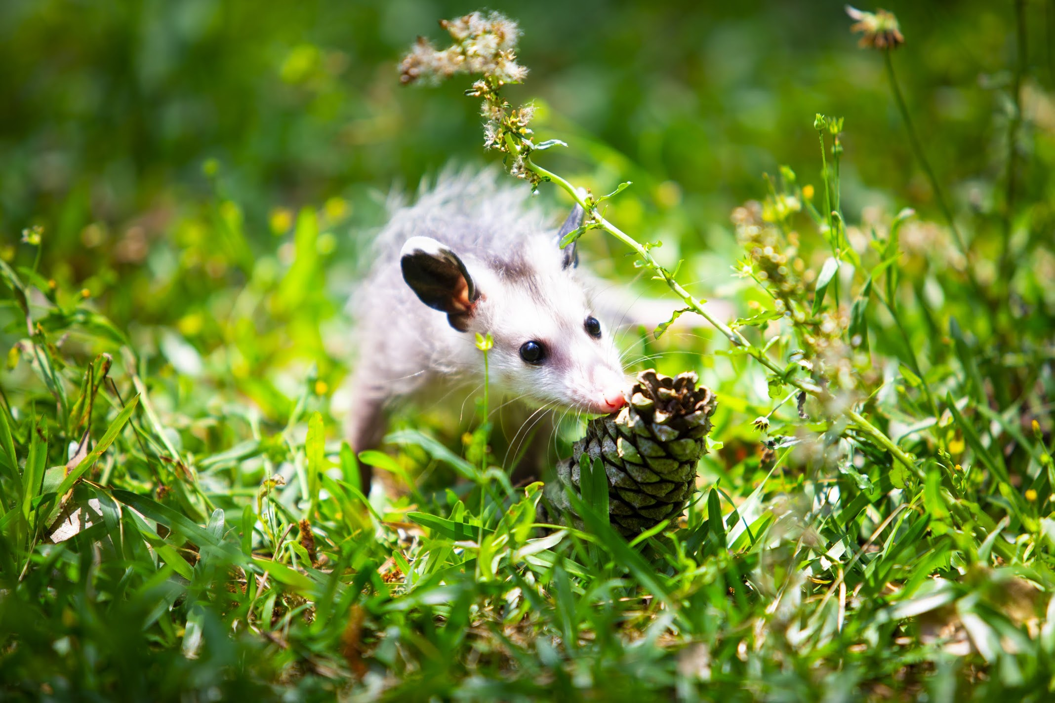 baby animal sniffing a pine cone