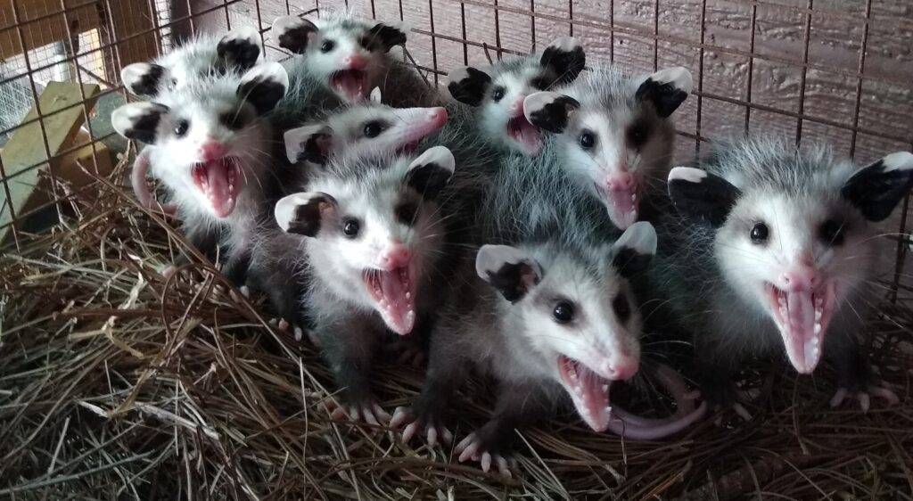 baby opossums with mouths agape