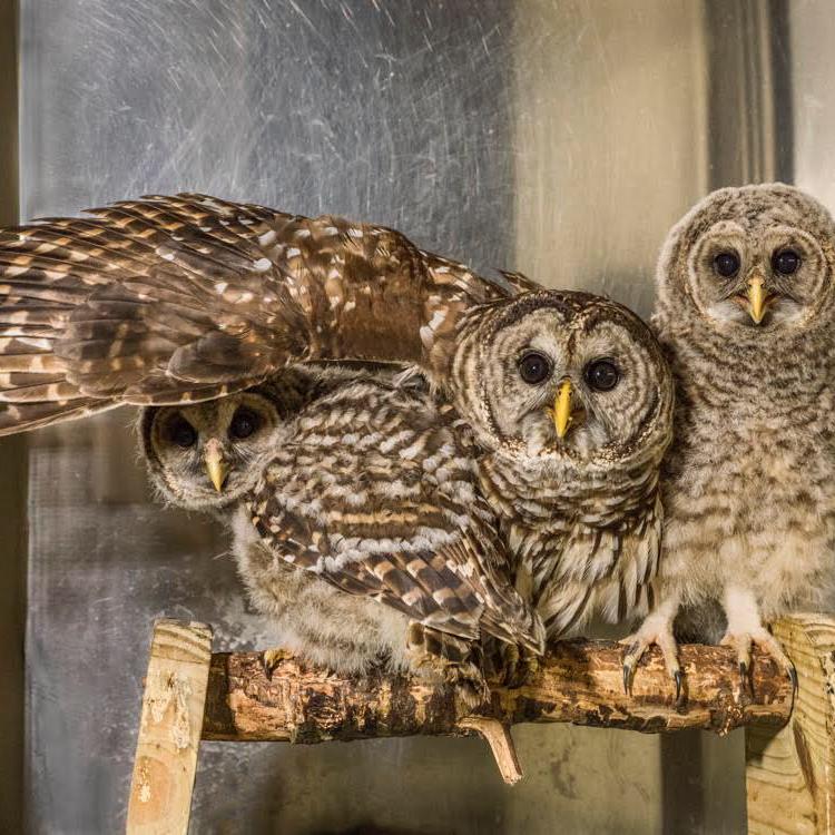 three owls on a perch